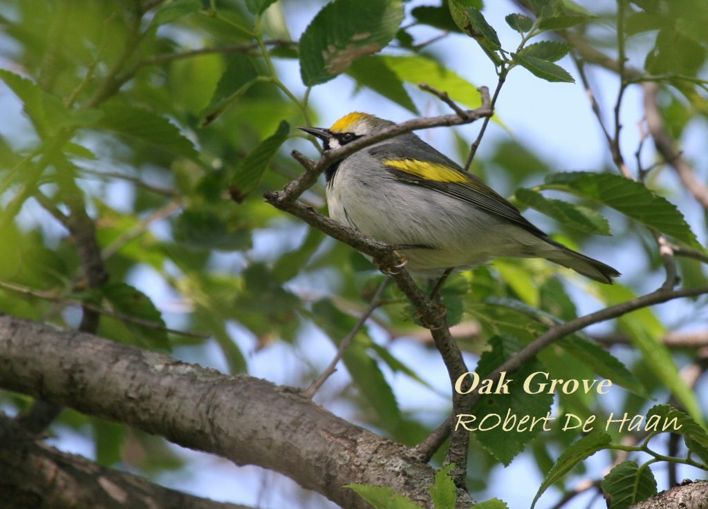 IMG_9577 golden winged warbler close